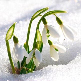 Sparkling Snowdrop Fragrance Oil - Trial Size