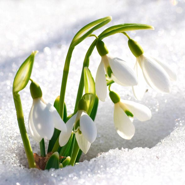 Sparkling Snowdrop Fragrance Oil