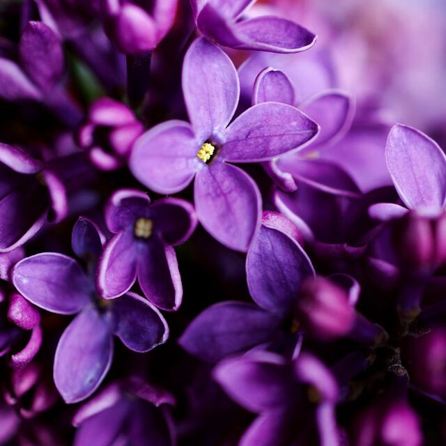 Night Violet Fragrance Oil