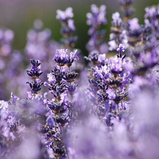 Hungarian Lavender Essential Oil - 1.75 oz