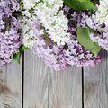 Lilac Fragrance Oil Sample size