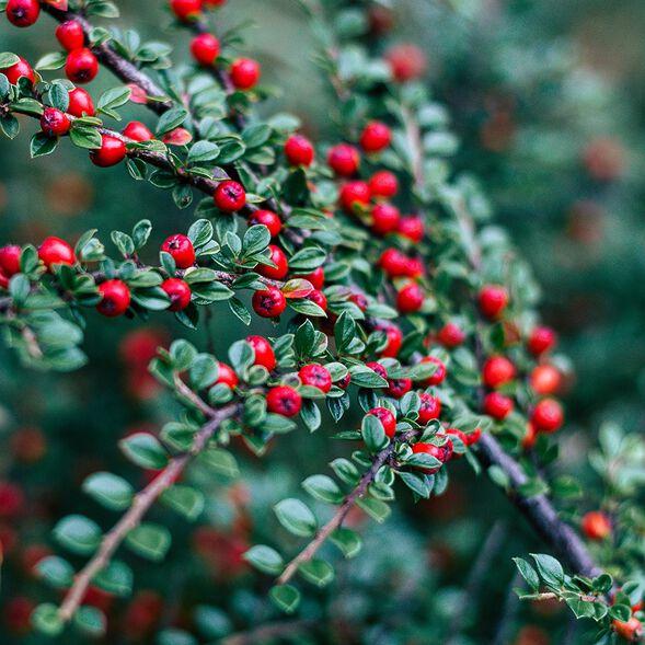 Lingonberry Spice Fragrance Oil