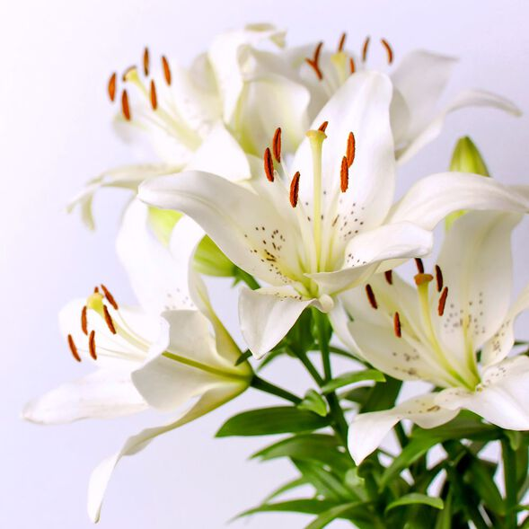 White Lily and Aloe Fragrance Oil
