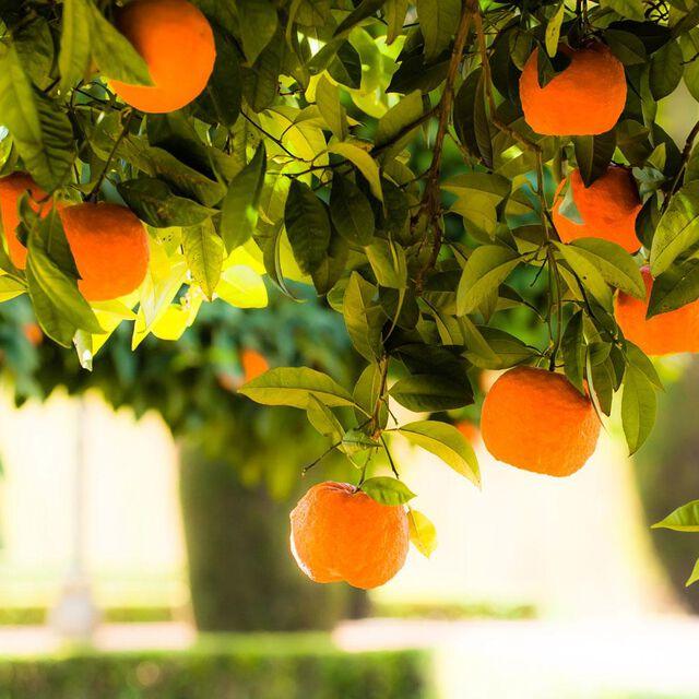 Orange Valencia Essential Oil