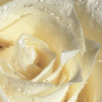 White Rose Fragrance Oil - Trial Size
