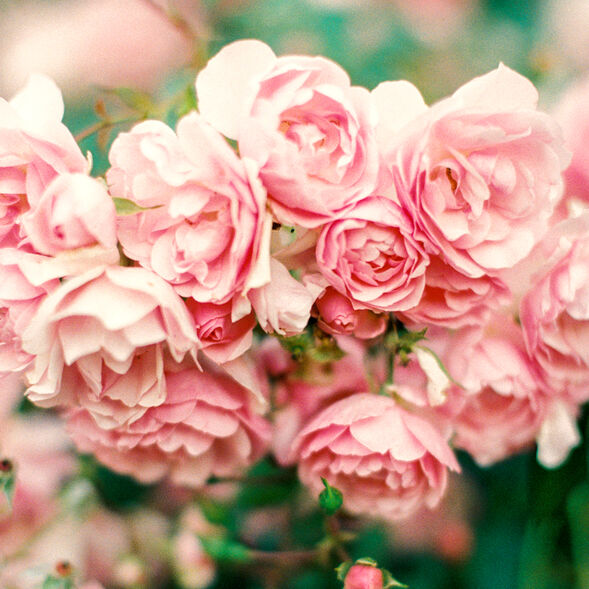 Pink Petals Fragrance Oil