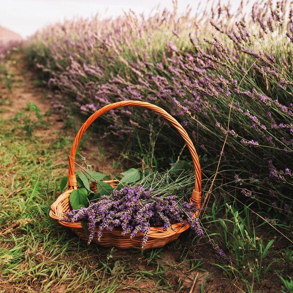 Peaceful Lavender Fragrance Oil
