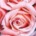 Dewy Rose Fragrance Oil - 1.75 oz
