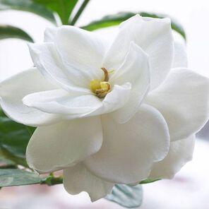 Gardenia Fragrance Oil - 2 oz