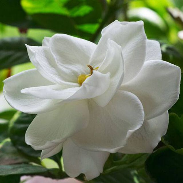 Southern Gardenia Fragrance Oil