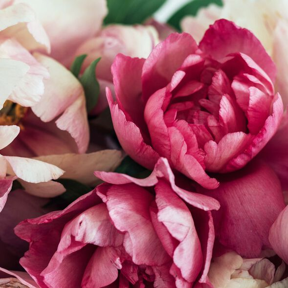 Peony and Amberwood Fragrance Oil