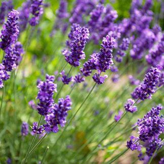 Lavender Fragrance Oil - Trial Size