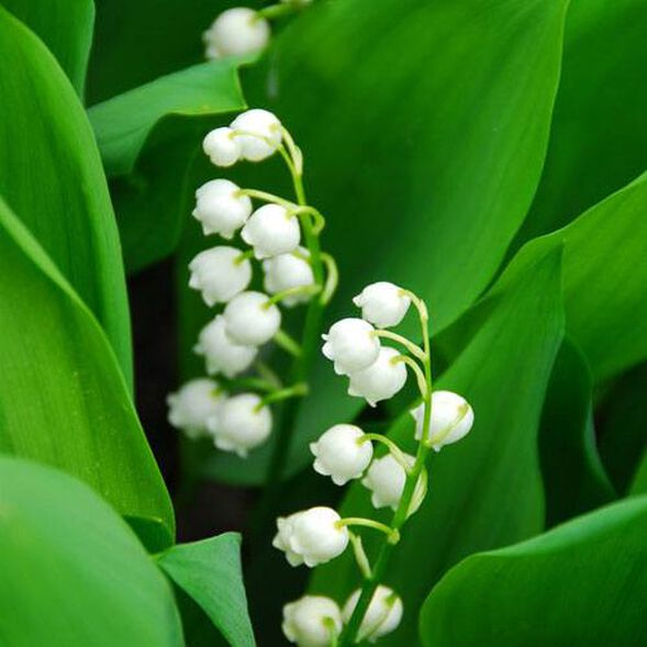 Lily Of The Valley  Fragrance Oil - Trial Size