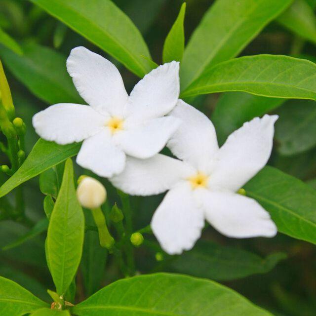 Pikake Flower Fragrance Oil