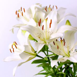 White Lily and Aloe Fragrance Oil - 0.5 oz