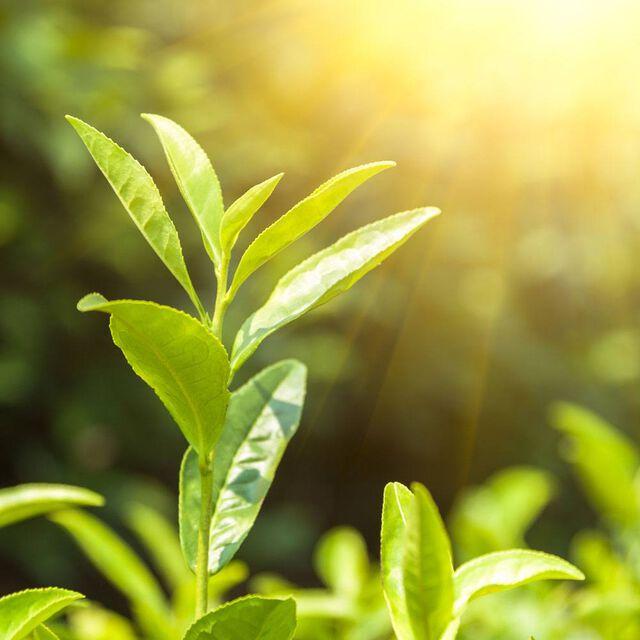 Green Tea & Cucumber Fragrance Oil