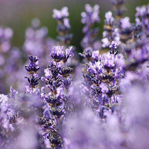Hungarian Lavender Essential Oil - 1.75 oz