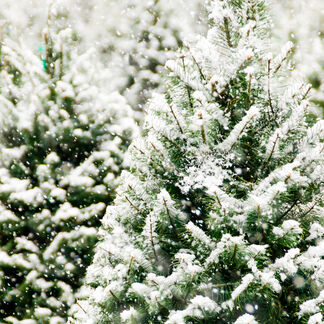 Frosted Fir Fragrance Oil - Trial Size