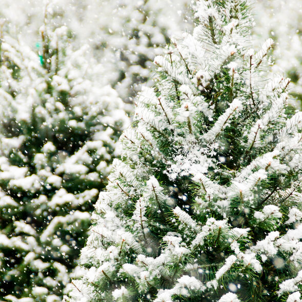 Frosted Fir Fragrance Oil