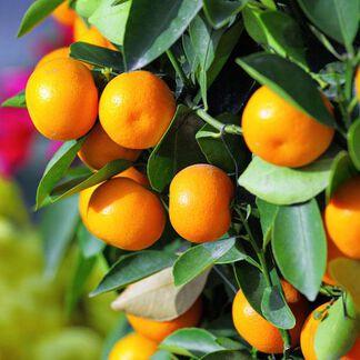 Kumquat Fragrance Oil - Trial Size