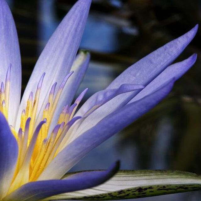 Amazon Lily & Rain Fragrance Oil