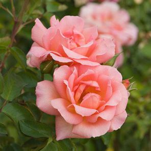 Baby Rose Fragrance Oil - Trial Size