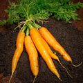 Carrot Seed Essential Oil - 2 oz