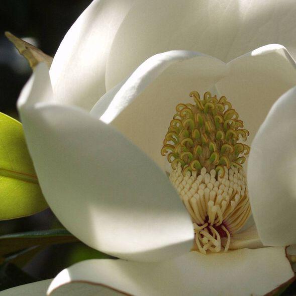 White Magnolia Fragrance Oil