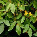 Balsam Peru Essential Oil - 2 oz