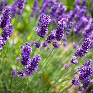 Lavender Fragrance Oil Sample size