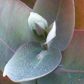 Eucalyptus Essential Oil Sample Size