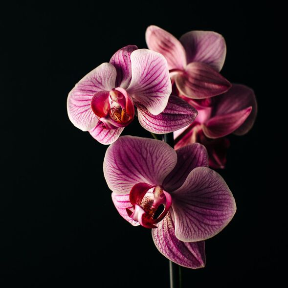 Bewitched Orchid Fragrance Oil