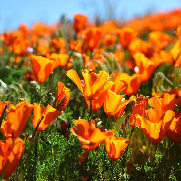Sunshine Poppies Fragrance Oil