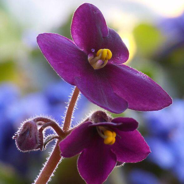 DISCONTINUED - Violet Fragrance Oil