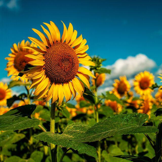 Sunflower Fragrance Oil
