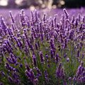 Bulgarian Lavender Essential Oil - 1.75 oz
