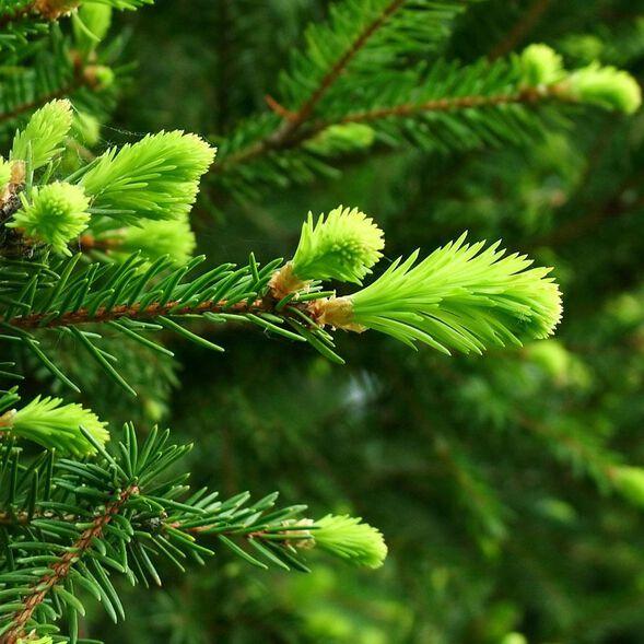 Fir Needle Essential Oil, Siberian