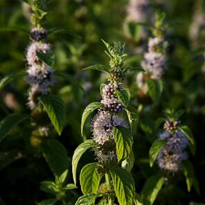 Peppermint Essential Oil, 2nd Distill Trial Size