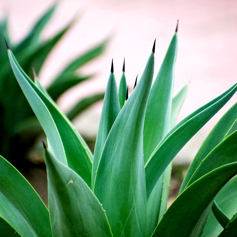 emerald agave fragrance oil | Bramble Berry