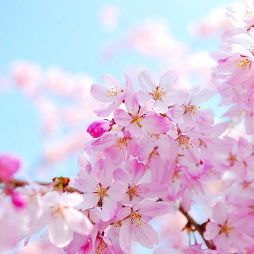 Cherry Blossomd